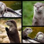 """Otters"" by ianjeffrey"