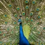 """Peacock with Outstreched Plumage"" by OJPHOTOS"