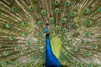 Peacock with Outstreched Plumage