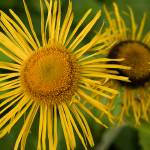 """Iish Fleabane (Inula salicina) Close-up"" by OJPHOTOS"