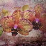 """Orchid Dance"" by mattiebryant"