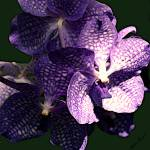 """Purple Orchid"" by mattiebryant"