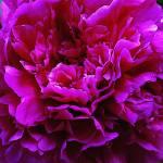 """Pink Peony"" by mattiebryant"