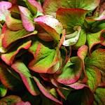 """Hydrangea"" by mattiebryant"