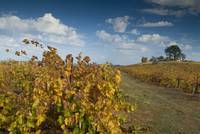 Amador Vineyard in Fall