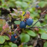 """Wild Blueberries, Denali"" by SederquistPhotography"