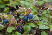 Wild Blueberries, Denali