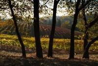 Vineyards at Boeger Winery II, Fall