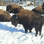 """Wild Buffalo"" by InspirationsByTHart"