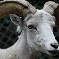 Dall Sheep Art Prints & Posters by Tanja Hymel