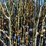 """Snowy Aspens"" by BarbaraLin"