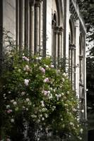 Climbing Roses and Old English Church