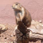 """Prairie Dog on a Stick"" by Melissa-Widmaier"