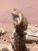 Prairie Dog on a Stick