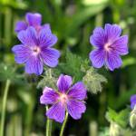 """wild geranium"" by mcinallysphotos"