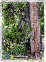 Yellowstone tree