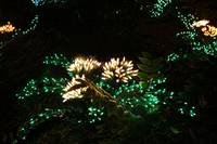 Flower of Lights