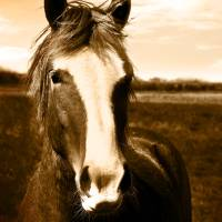 Wild Horse Portrait - Square Format Art Prints & Posters by Christopher King