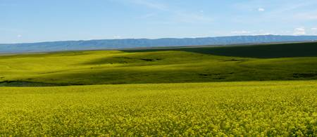 Idaho Mustard Field