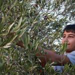"""Palestinian boy picking olives"" by jcarillet"