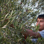 """Palestinian boy picking olives"" by jcarillet"
