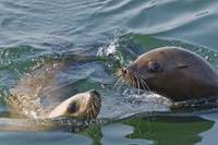 Two Steller Sea Lions Play Together