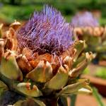 """Artichoke bloom"" by shutterblissphotography"