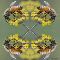 Four Honey Bees By Bill McAllen