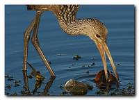 Limpkin and a Apple Snail 3 of 7