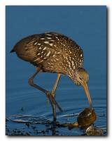 Limpkin and a Apple Snail 5 of 7