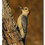 """Red Bellied Woodpecker"" by scott2403"