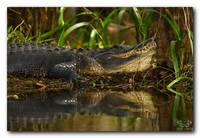 American Alligator Reflection