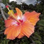 """Peach Hibiscus Flower-sq"" by FindleyPhoto"