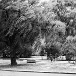 """""""Weeping Willow Tree"""" by PhotographsByCarolFAustin"""