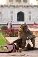 Monkey at Baby Taj - Agra, India