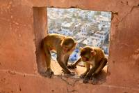 Monkey Temple - Jaipur, India