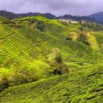 """BOH Tea Plantation - Cameron Highlands, Malaysia"" by 2UNB"