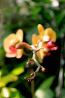 Orchid buds