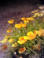 california poppies 3