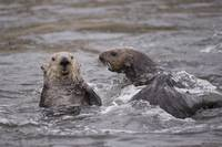 Sea Otter Couple II, Elkhorn Slough