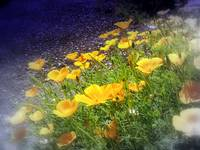 california poppies 4