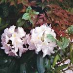 """Rhododendrons"" by oldawnie"