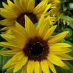 """Sunflower Pacino"" by diavolo_felice"
