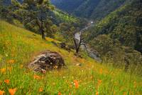 Poppies and American River V