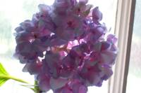 Blue Hydrangea in window