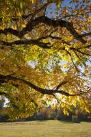 Walnut Tree in Fall, Coloma, California