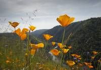 Poppies Glow Orange near the American River