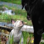 """DOGS_MEETING AT THE FENCE"" by barbsummering"
