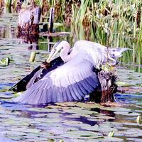 BLUE HERON FISHING