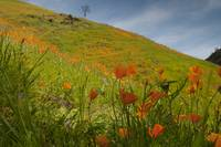 Poppies in Shadow on Hillside